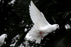 Doves Flying